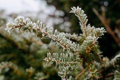 Feche acima da geada na árvore de pinho Imagem de Stock Royalty Free