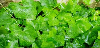 Feche acima da gota da água nas folhas da cabaça ou do verde da hera após o dia chuvoso fotografia de stock royalty free