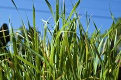 Feche acima da grama alta do gato imagem de stock