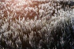 Feche acima da grama congelada do pinho das airelas na luz solar Fotografia de Stock Royalty Free