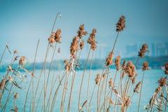 Feche acima da grama da flor no fundo do céu azul e do rio Imagem de Stock Royalty Free