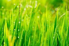 Feche acima da grama fresca Fotografia de Stock Royalty Free