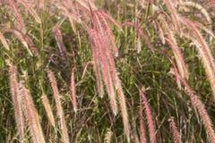 Feche acima da grama seca da flor do onl da luz da manhã Imagem de Stock Royalty Free