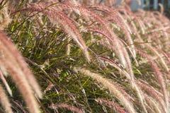Feche acima da grama seca da flor do onl da luz da manhã Fotografia de Stock Royalty Free