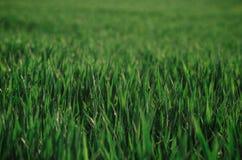 Feche acima da grama verde da mola Fotografia de Stock Royalty Free