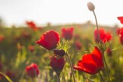 Feche acima da ideia do campo de flores vermelho de florescência de Anemone Coronaria, Israel fotografia de stock royalty free