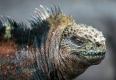 Feche acima da iguana marinha fotos de stock royalty free
