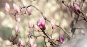 Feche acima da imagem das flores da magnólia que florescem em uma mola Foto filtrada moderno Fotos de Stock