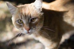 Feche acima da imagem do gato vermelho Olhos bonitos Fotos de Stock Royalty Free