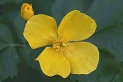 Feche acima da imagem da flor da papoila da floresta Foto de Stock Royalty Free