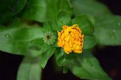 Feche acima da imagem da planta de Officinalis do Calendula com gotas nas folhas verdes por Maria Rutkovska Imagens de Stock Royalty Free