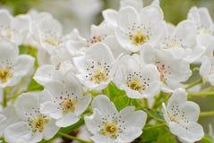 Feche acima da inflorescência da árvore de fruto de florescência Fotos de Stock Royalty Free