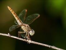 Feche acima da libélula Imagens de Stock