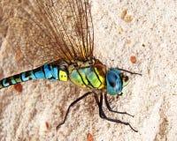 Fim-acima da libélula Fotos de Stock