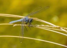 Feche acima da libélula com olhos de Big Blue, as asas delicadas e a cara verde imagem de stock royalty free