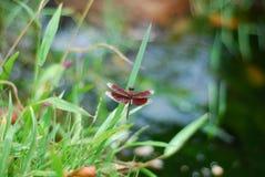 Feche acima da libélula empoleirada na grama Imagens de Stock