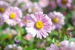 Feche acima da luz - flor cor-de-rosa com núcleo amarelo no fundo borrado verde Dia do `s da matriz ` S a Dinamarca das mulheres fotografia de stock royalty free