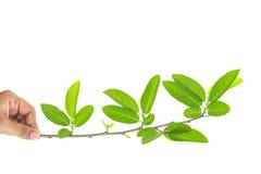 Feche acima da mão que guarda o ramo de árvore com folha verde Fotos de Stock