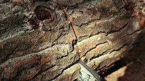 Feche acima da madeira do corte do homem da madeira serrada com serra de cadeia filme