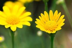 Feche acima da margarida amarela de Dahlberg no fundo verde Imagens de Stock