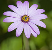 Feche acima da margarida cor-de-rosa violeta Imagens de Stock Royalty Free