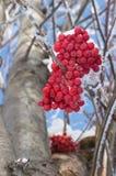 Feche acima da montanha Ash Berries Near Tree Trunk de baixo de Imagem de Stock Royalty Free