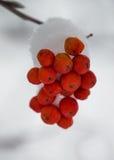 Feche acima da montanha nevado Ash Berries Fotos de Stock