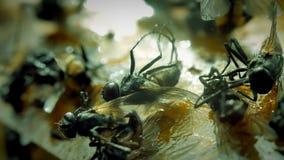 Feche acima da mosca colada na armadilha da colagem video estoque
