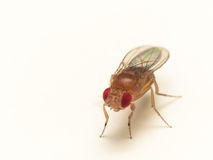 Feche acima da mosca de fruto com os olhos vermelhos brilhantes na superfície do branco Foto de Stock Royalty Free