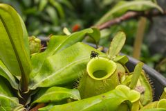 Feche acima da mosca no copo da planta de jarro ou do ampullaria ou do macaco do Nepenthes imagem de stock