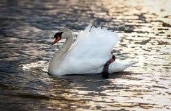 Feche acima da natação branca da cisne no lago Foto de Stock