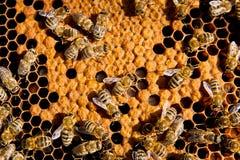 Feche acima da opinião as abelhas de trabalho no favo de mel Fotografia de Stock Royalty Free