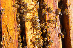 Feche acima da opinião as abelhas que pululam em um favo de mel imagem de stock