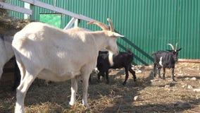 Feche acima da opinião as cabras que pastam na cerca com a cerca de madeira na exploração agrícola filme