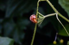 Feche acima da opinião o besouro alaranjado do ponto preto Fotos de Stock