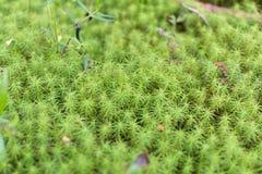Feche acima da opinião o musgo verde Foto de Stock