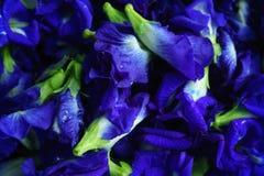 Feche acima da opinião superior de ervilha de borboleta Imagens de Stock Royalty Free