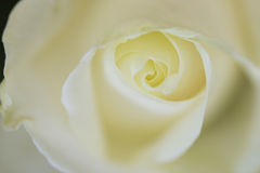 Feche acima da opinião uma rosa bonita do branco imagem de stock royalty free