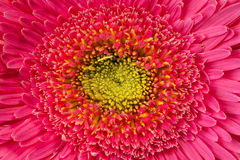 Feche acima da opinião a margarida cor-de-rosa Imagens de Stock Royalty Free