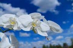 Feche acima da orquídea Imagens de Stock Royalty Free