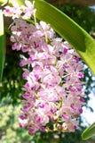 Feche acima da orquídea ou do gigantea tailandês de Rhynchostylis imagem de stock royalty free