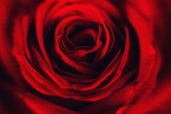 Feche acima da pétala cor-de-rosa vermelha Imagem de Stock