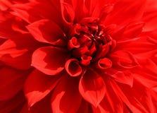 Feche acima da pétala vermelha da dália para o fundo Fotografia de Stock Royalty Free