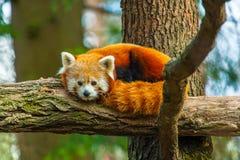 Feche acima da panda vermelha imagens de stock royalty free