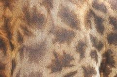 Feche acima da pele do Giraffe Fotos de Stock Royalty Free