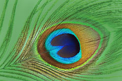 Feche acima da pena colorida do pavão Fotos de Stock Royalty Free