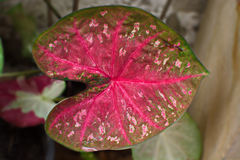Feche acima da planta bicolor do Caladium no jardim Foto de Stock Royalty Free