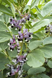 Feche acima da planta de fava (faba do Vicia) na flor Imagens de Stock Royalty Free
