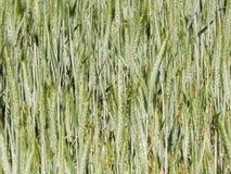 Feche acima da planta do trigo como o fundo da natureza foto de stock royalty free