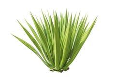 Feche acima da planta verde da agave isolada no branco Imagens de Stock